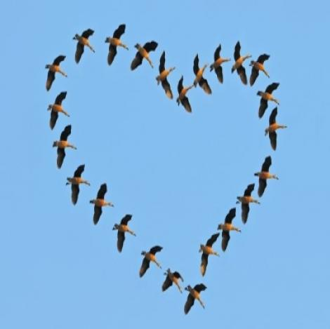 Birds flying in heart - domdeen@freedigitalphotos.net