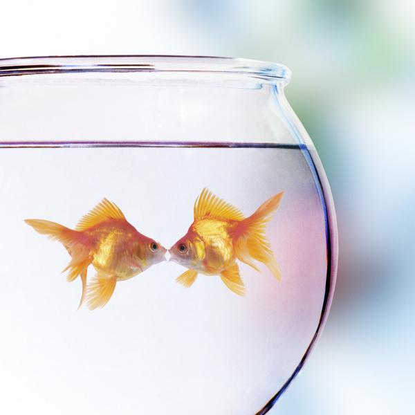 Pair of gold fish in bowl